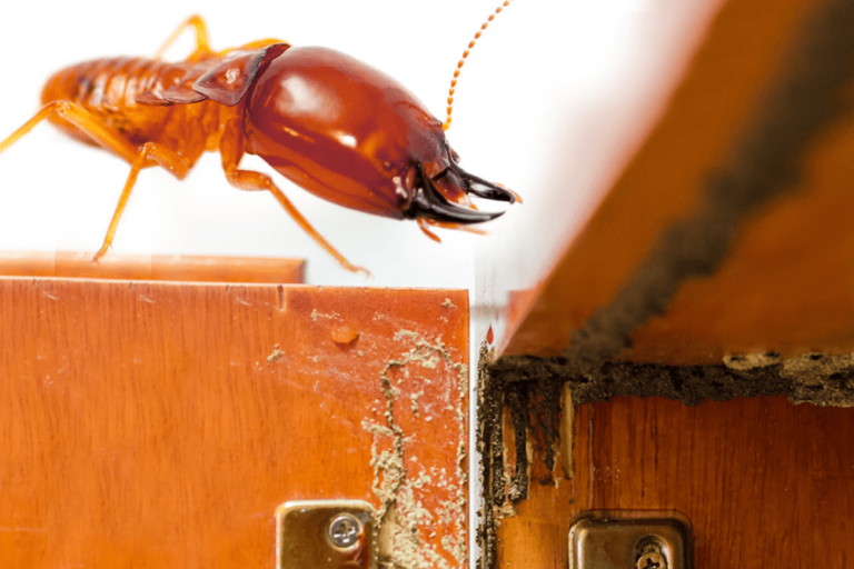 pest inspection for termites