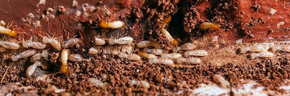 southwestern Pennsylvania subterranean termite swarm